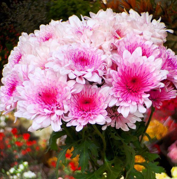 White-Pink Cresendo