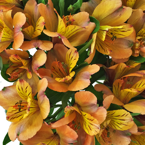 A bouquet Of Orange Alstroemenia